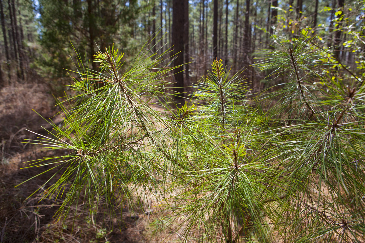 220 acres on rocky ford road near ingleside and hwy 401 in for Pine tree timber