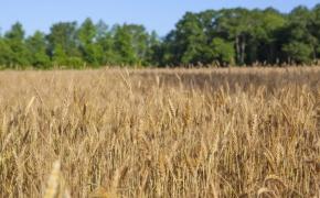 491 Wheat 1