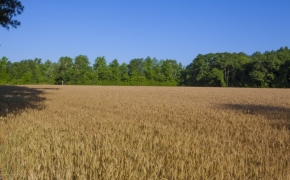 491 Wheat 2