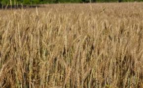 491 Wheat 3