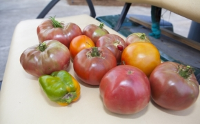 Guildford Horse Farm Tomatoes