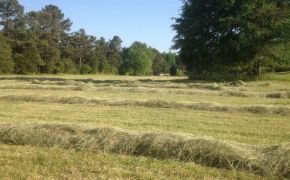 Hay in rows