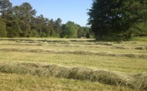 Hay in rows