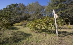 Grapesvines 1