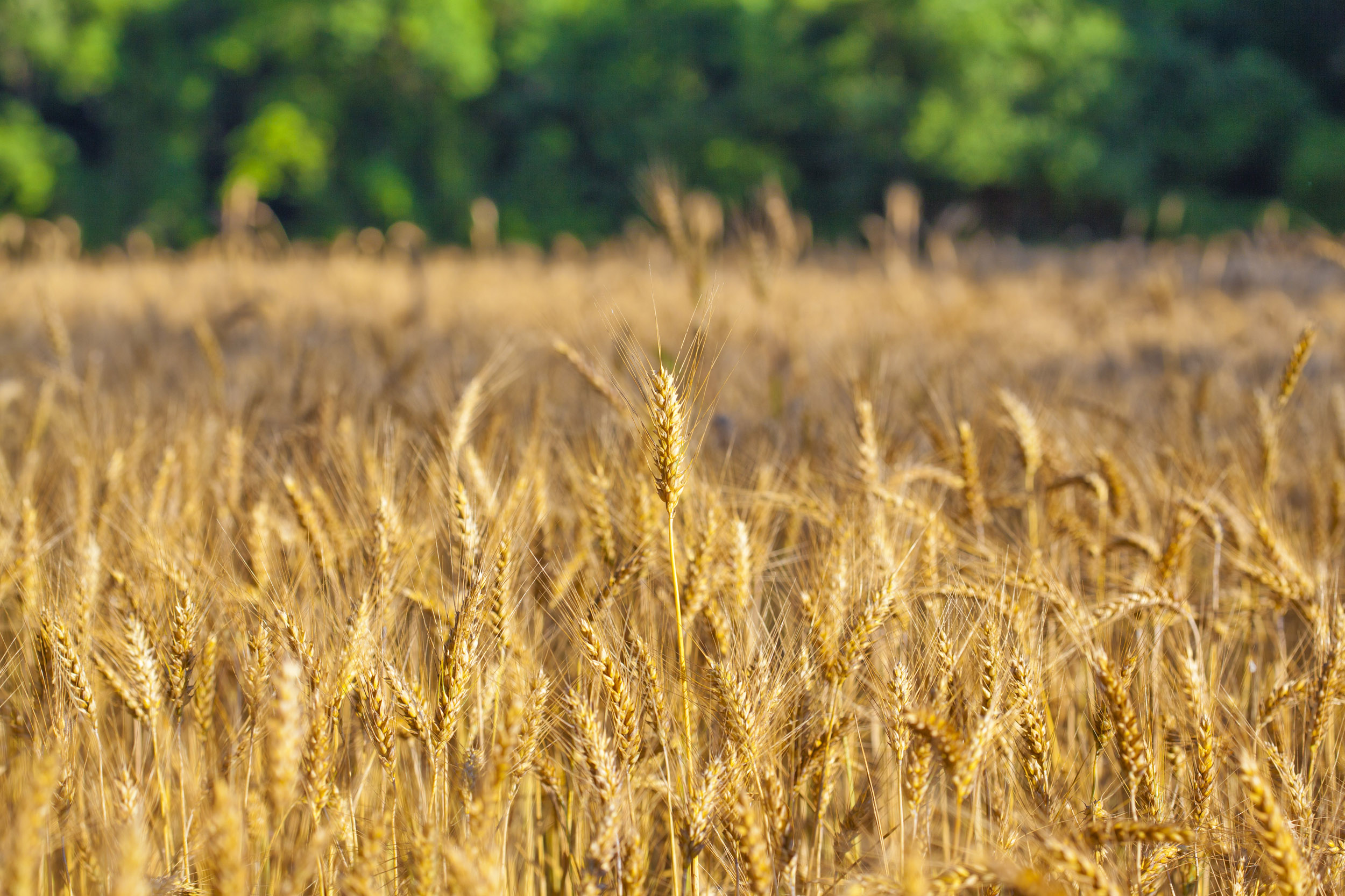 Legacy Farms and Ranches Wheat Photo