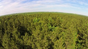 NC Pine Trees