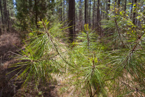 The Loblolly Pine is the state tree of North Carolina - also home to more than 400 native species of timber.