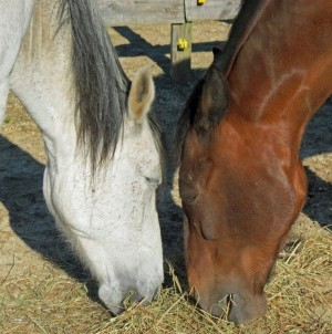 Horse Property for sale in Oxford NC - Granville County NC:  Sister horses eating together
