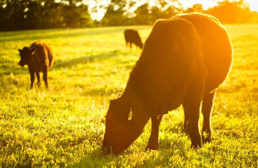 Rare Earth Farms cows: Central North Carolina Farm-to-Table and organic farming practices