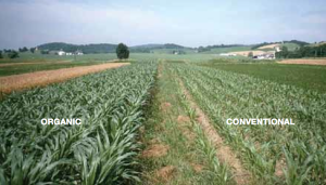 organic-vs-conventional-corn seems to deal with water better
