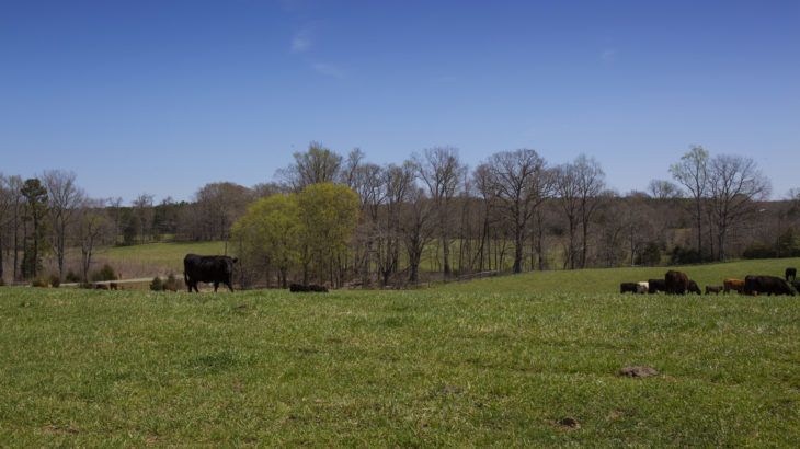 Chatham County 84 Acre Cattle Farm for Sale