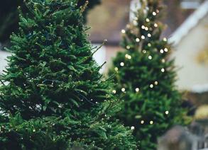 Fresh Cut and Festive- North Carolina Christmas Trees