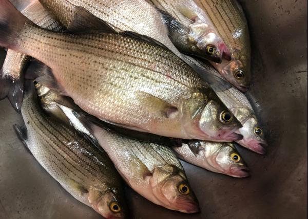 2021 NC Striper Fishing Season