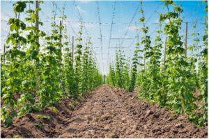 Hop Growers in North Carolina