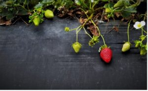 Local Strawberries for Sale