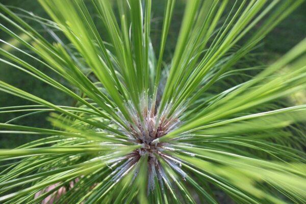 NC Pine Trees Longstraw