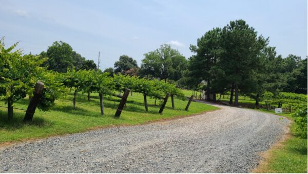 North Carolina Muscadine Vines & Wines