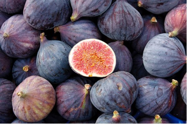 Fig Trees in Raleigh